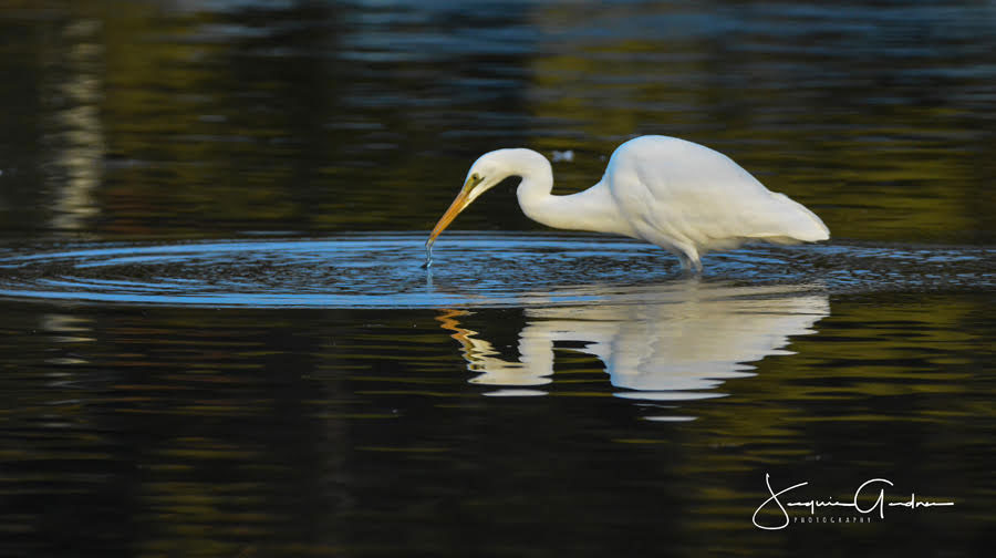 Great Egret On Prowl >> Stunning Images Of The Great Egret Best Bird Photos Australia