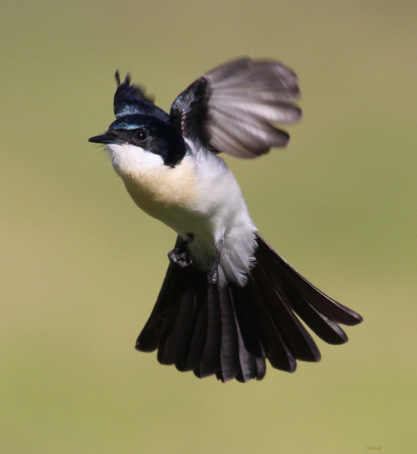 Hovering Flycatcher
