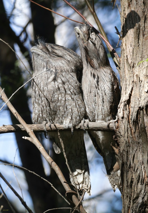 What is better than on Tawny Frogmouth? Two