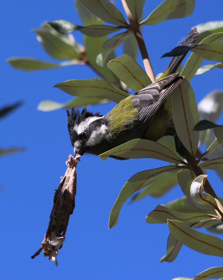 Crested Shrike-tit with cocoon