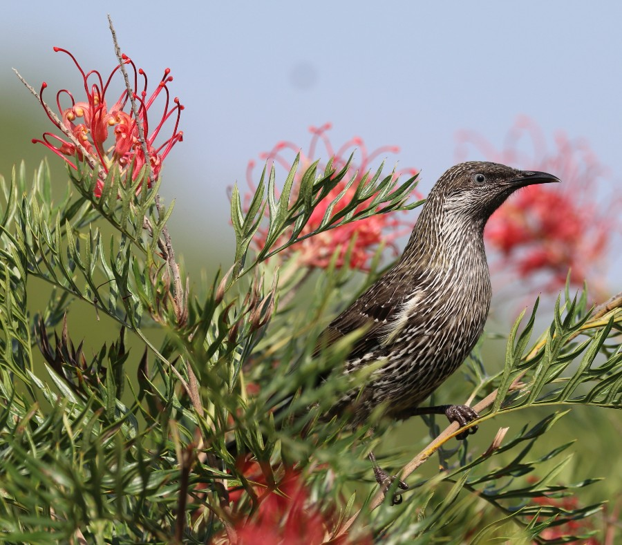 Among the Grevillea