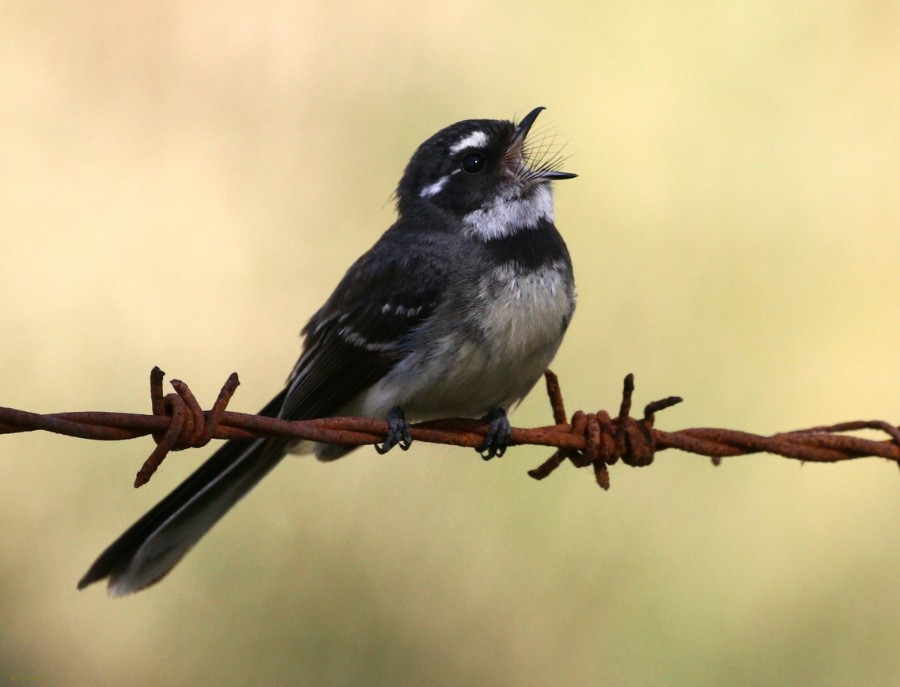 A singing Fantail