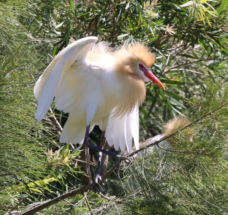 Breeding Egrets