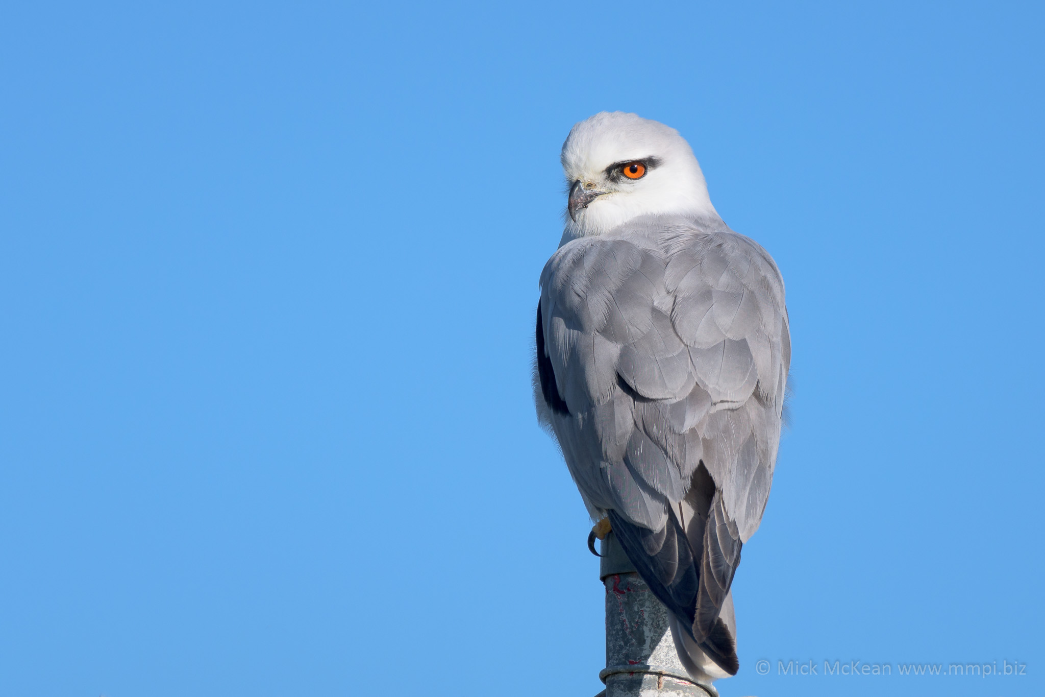 Black-Shouldered Kite perched on a wire fence