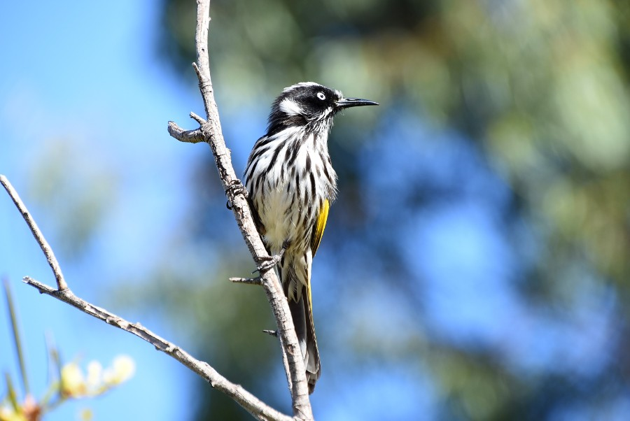 Cheeky honey eater