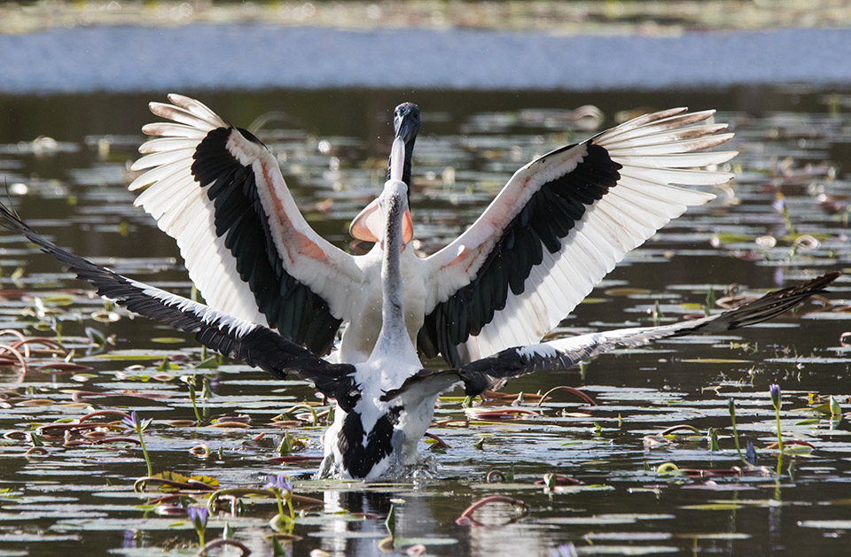 Black-necked Stork vs Pelican