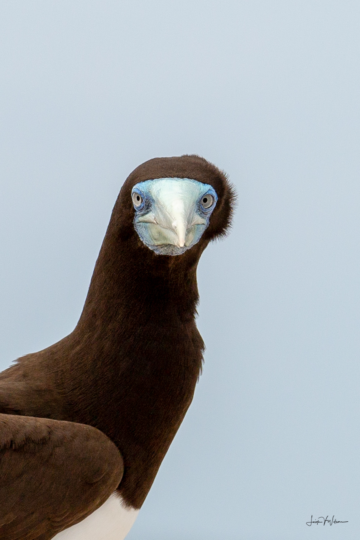 Brown Booby at Michaelmas Cay