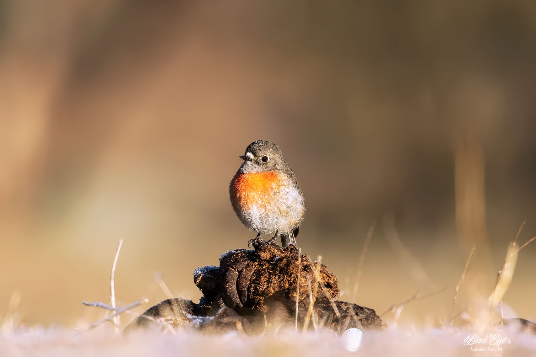Female Scarlet Robin Frosty morning