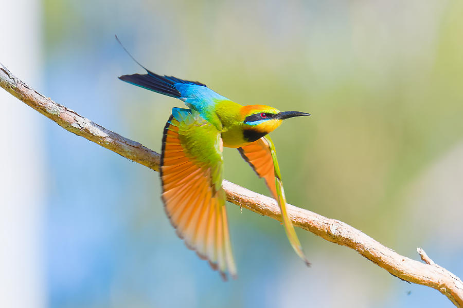 Rainbow Bee-eater in flight
