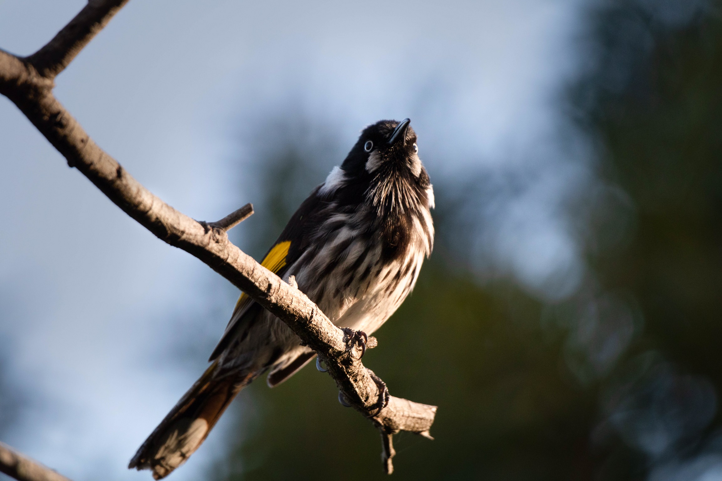 Curious New Holland Honeyeater
