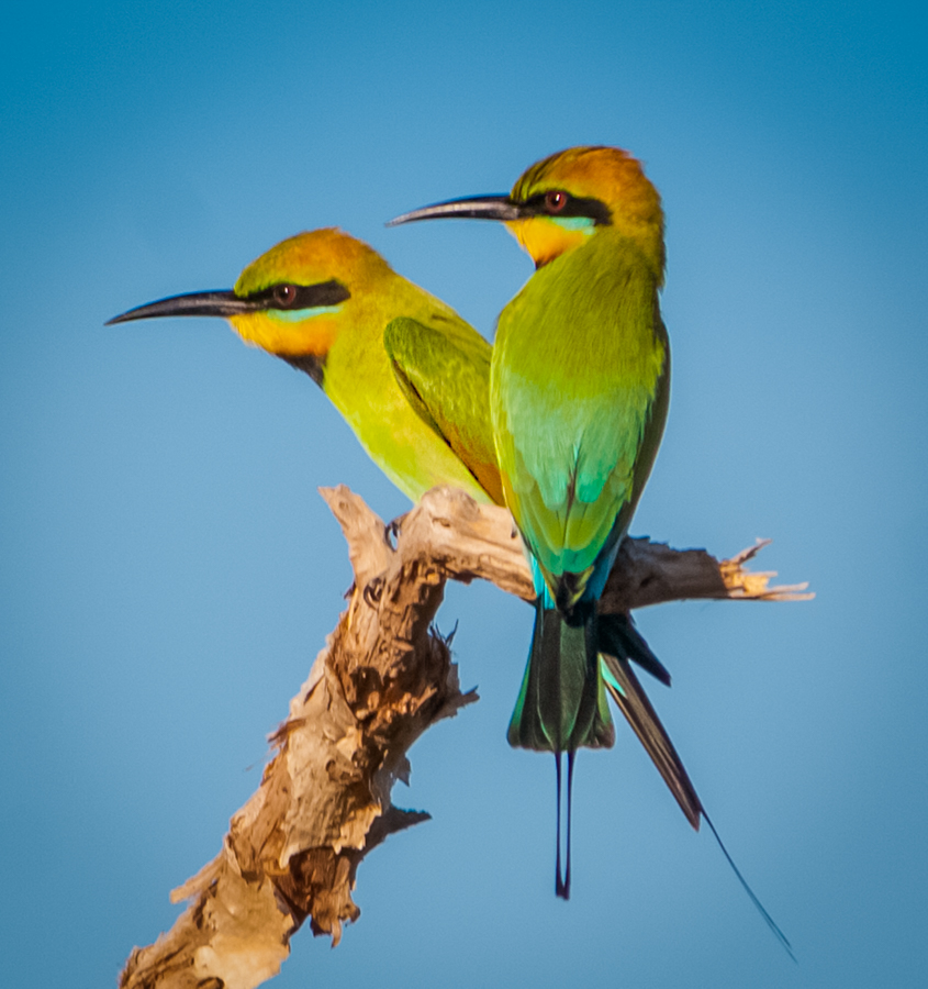 A pair of Rainbow Bee-eaters