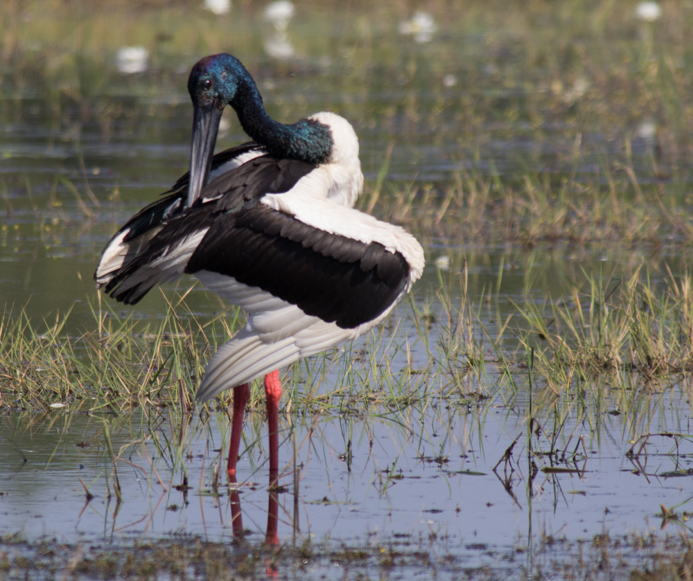 Black-necked Stork cleaning up