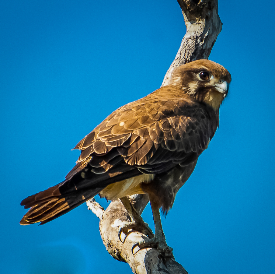 Brown falcon in a tree