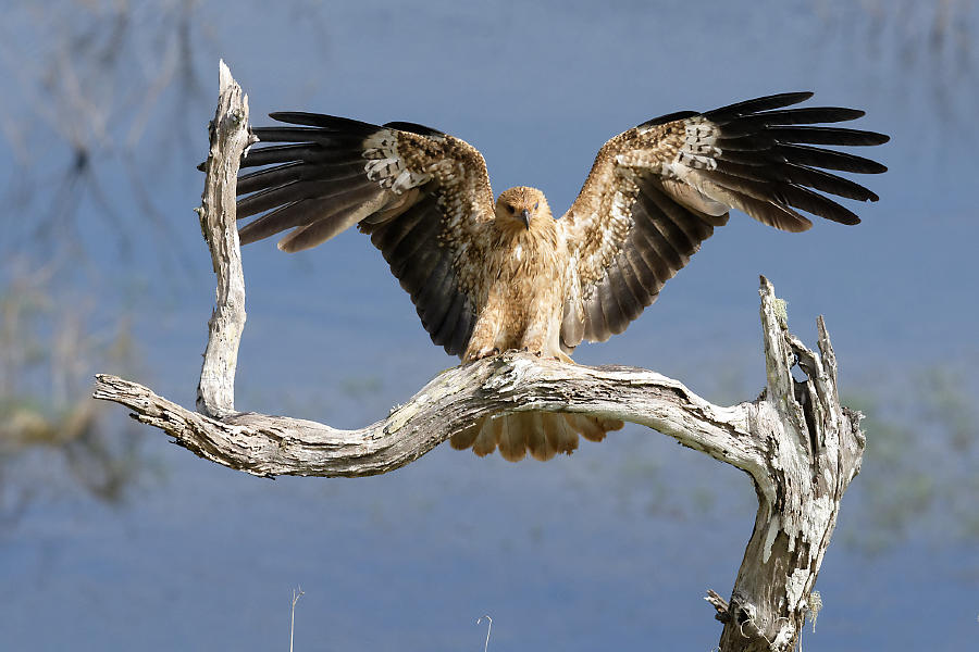Classic raptor pose by a Whistling Kite
