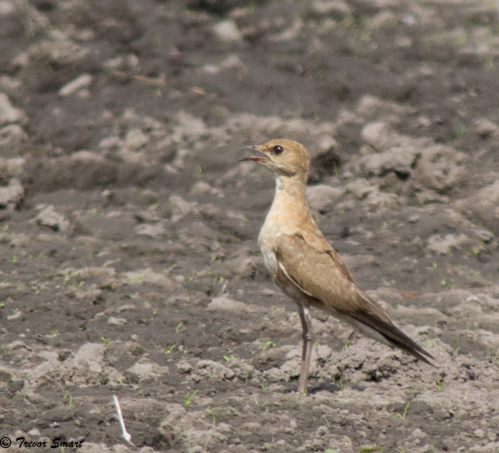Australian Pratincole, a new one for me