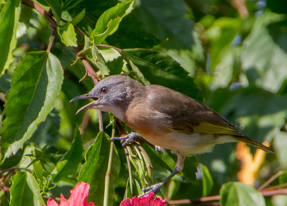 Bar-breasted Honeyeater in a hibiscus tree