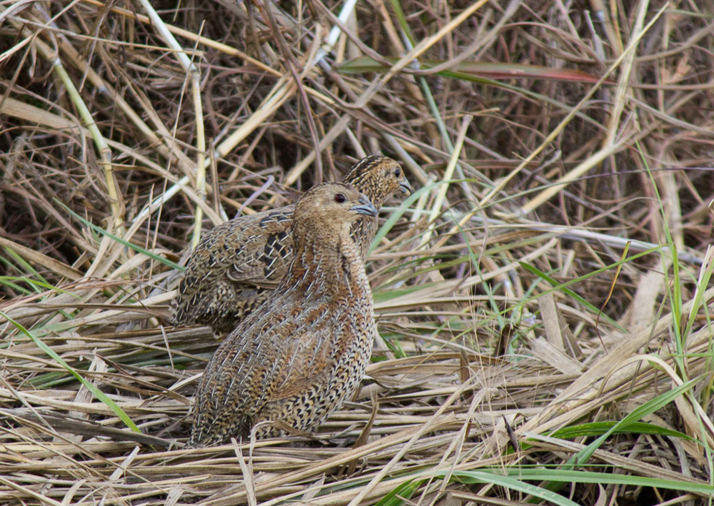 Brown Quail in the long grass