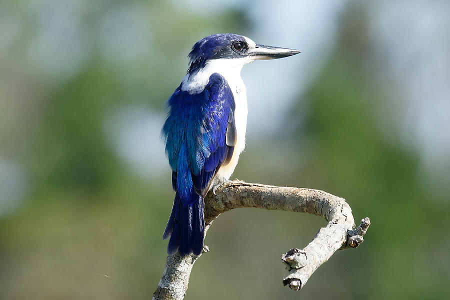 Forest Kingfisher, male, watching out over his territory and keeping an eye open for breakfast