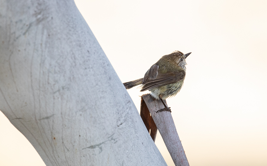 Striated Thornbill about to take off