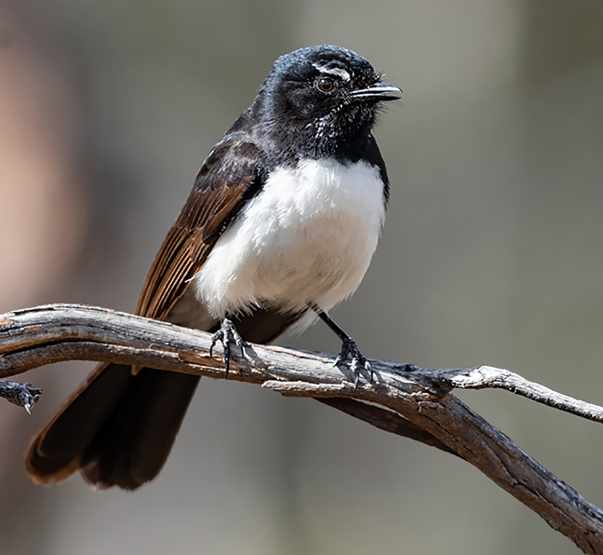 Mrs Willie Wagtail