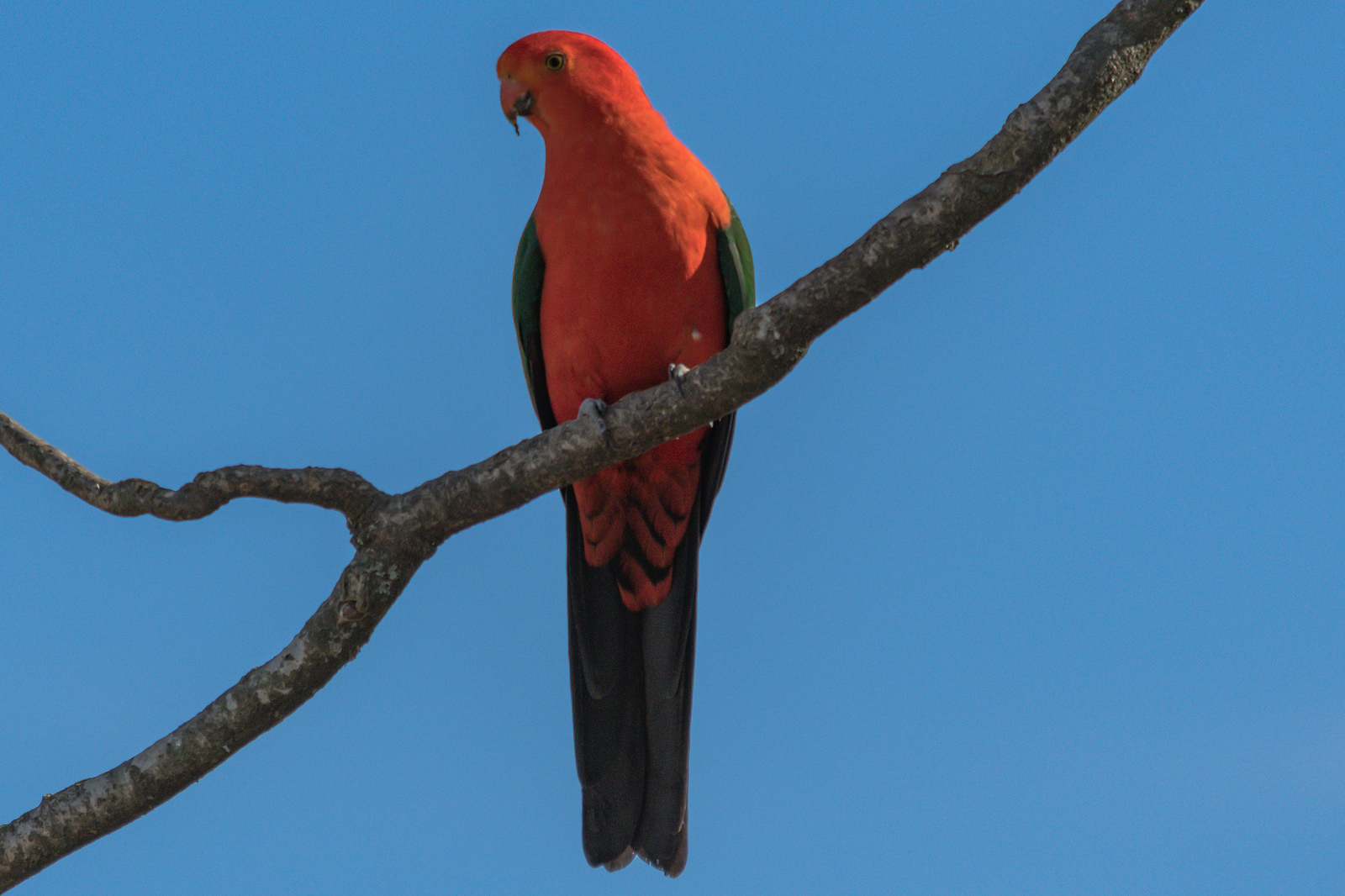 Australian King Parrot on tree branch