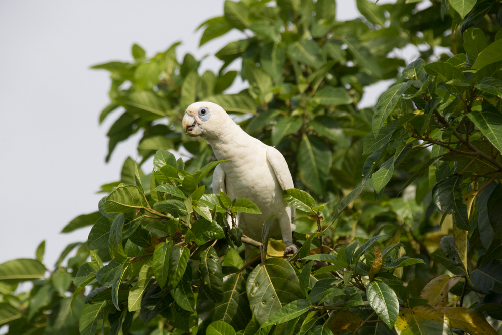 Little Corella in the greenery