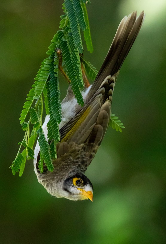 Noisy Miner in my backyard tree