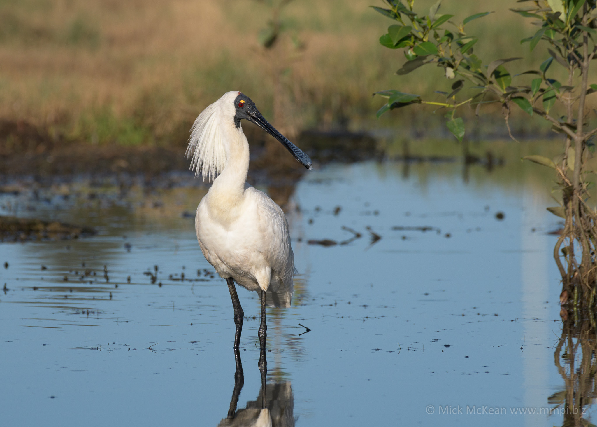 His Royal Spoonbillness
