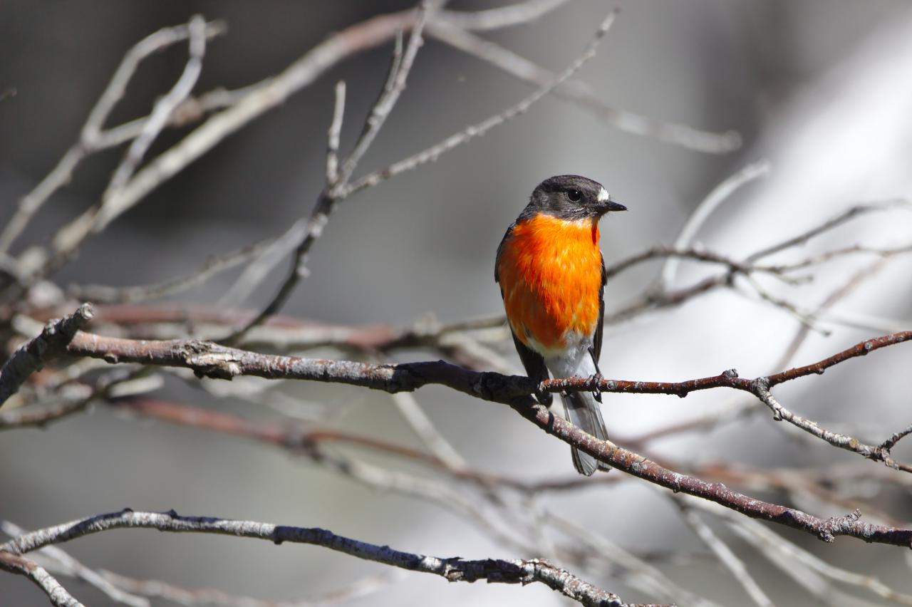 Flame Robin in Kosciuszko National Park