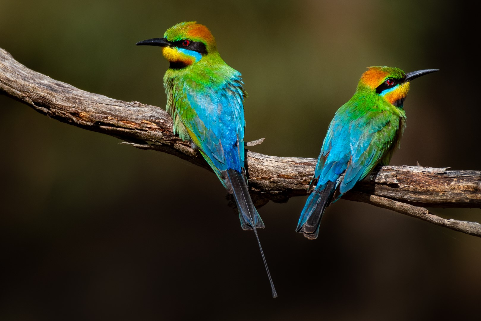 Mr & Mrs Rainbow Bee-Eater,