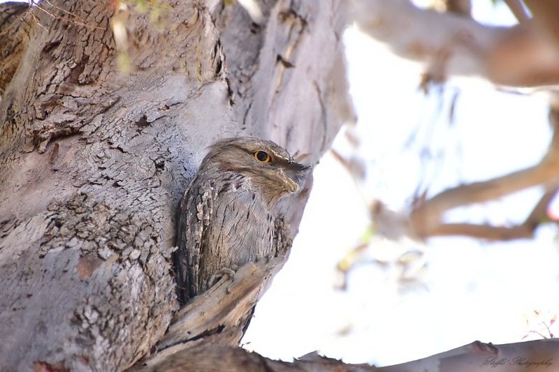 Tawny Frogmouth bird watching the world go around