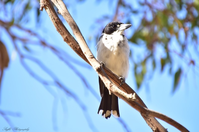 Grey Butcher bird enjoying the sun