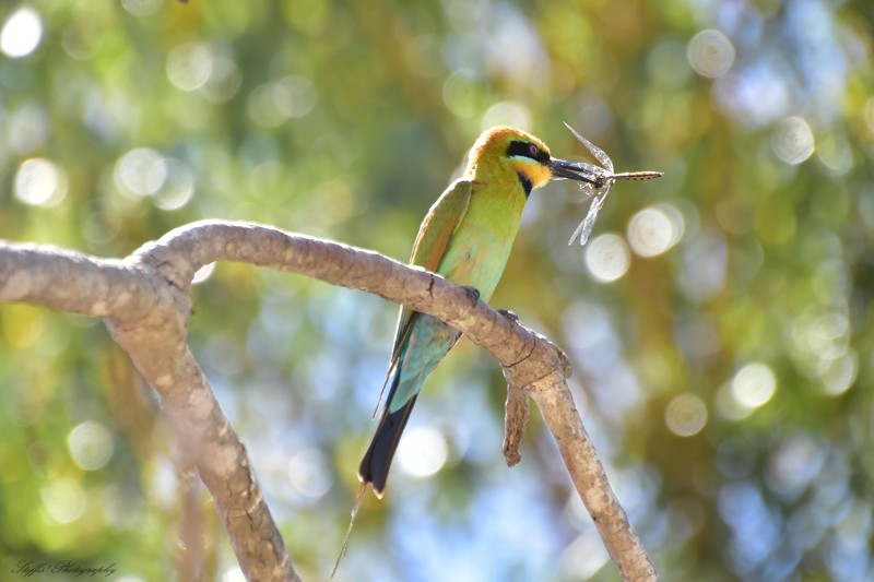 Rainbow bee eater sparkling in the sun