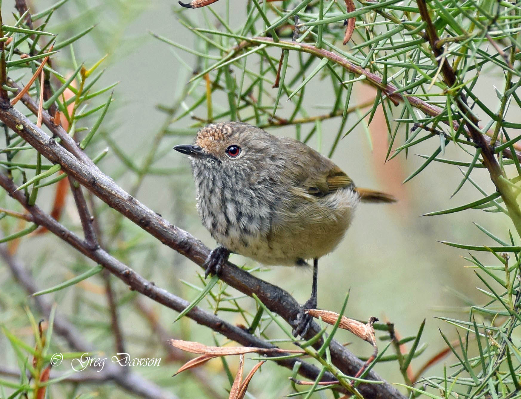 Little Thornbill