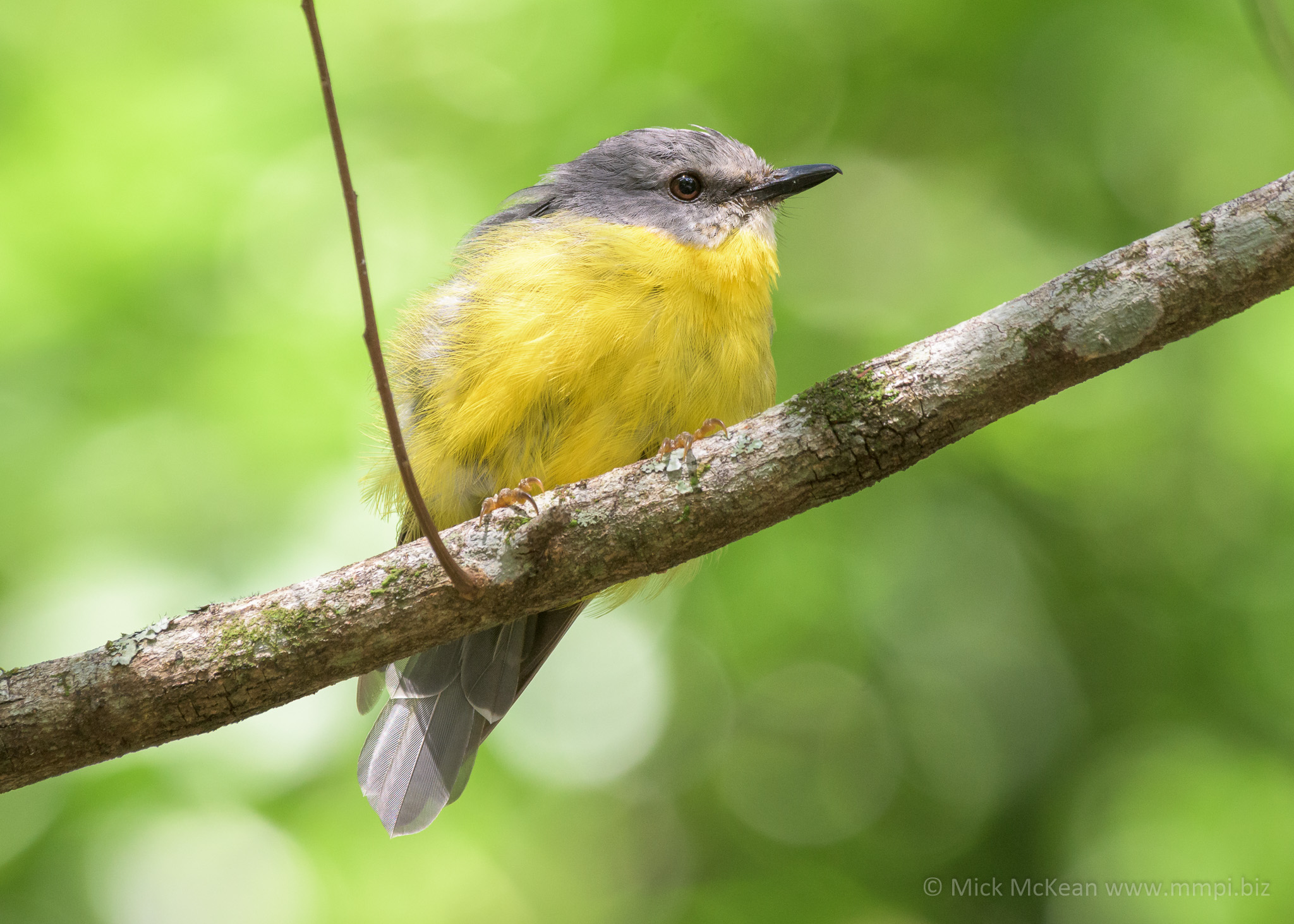 Fluffy Eastern Yellow Robin