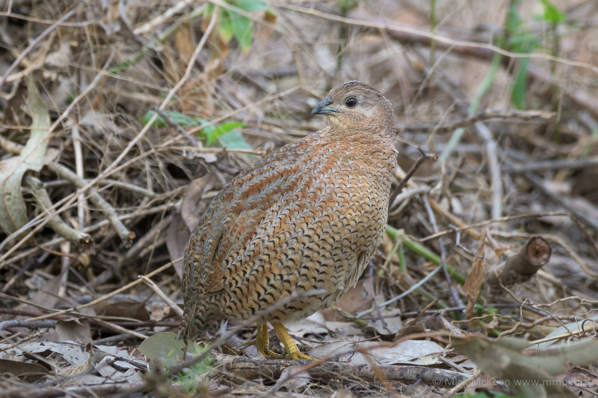 The Relaxed Brown Quail