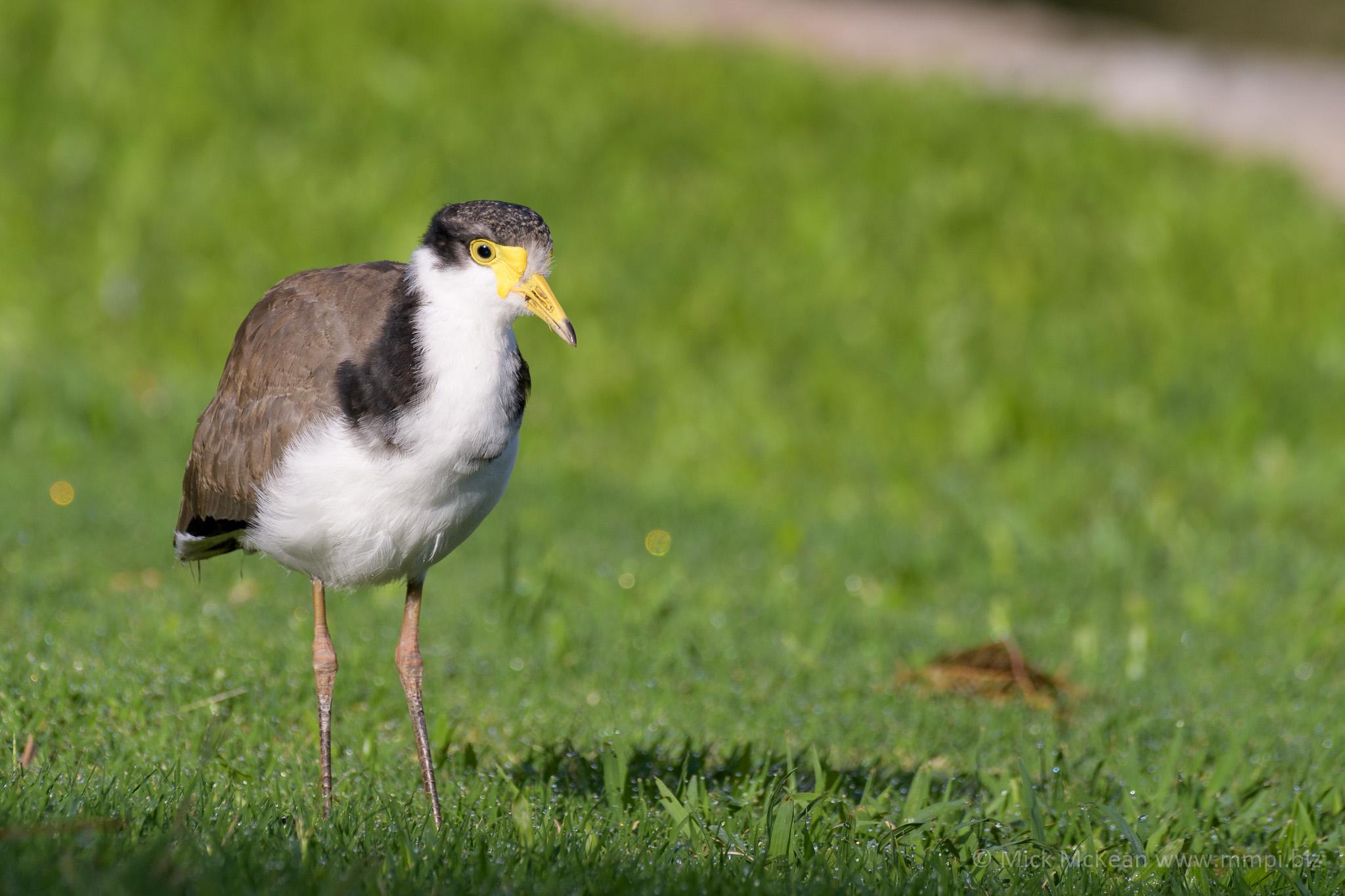 Young Masked Lapwing