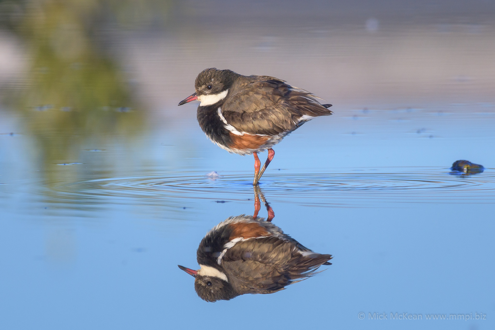 Red-kneed Dotterel and Reflection.