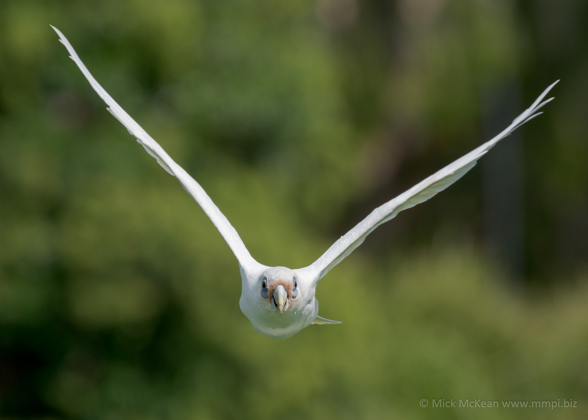 Little Corella Coming Right At Me