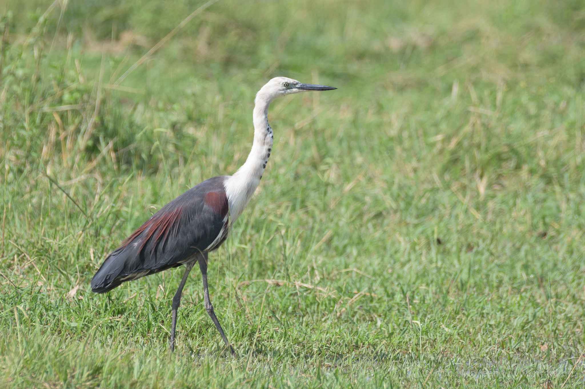 White-necked Heron Striding Out