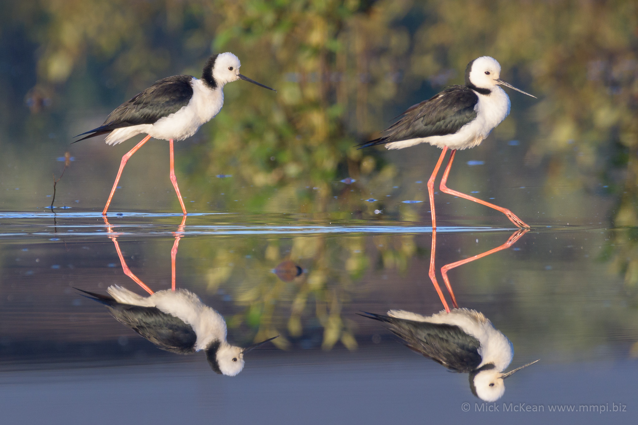 A pair of White-headed Stilts wading on a reflective lagoon