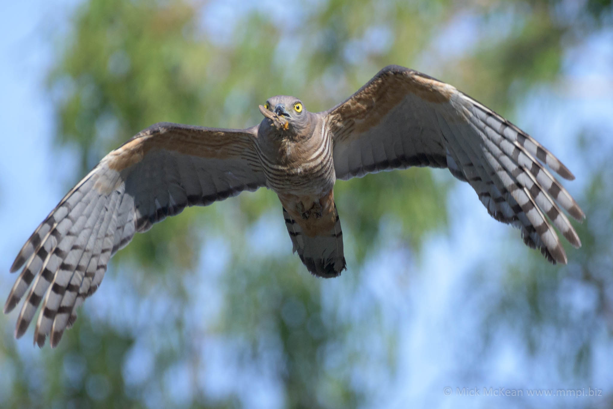 Pacific Baza with Caterpillar Catch