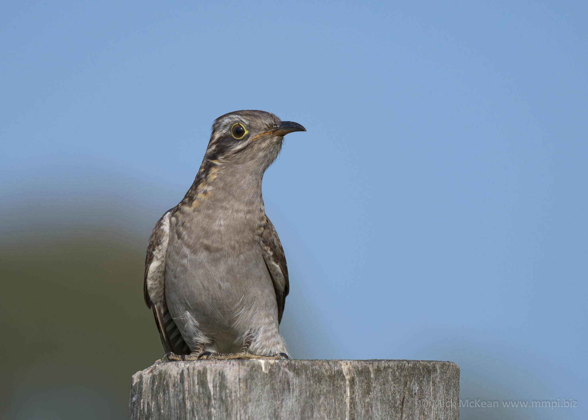Pallid Cuckoo striking a pose on a fencepost