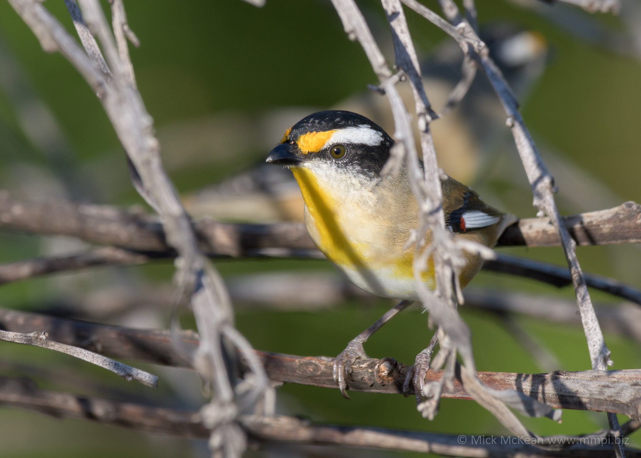 Striated Pardalote keeping a close eye on me.