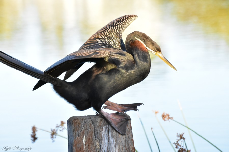 Australian darter enjoying the sun by the lake