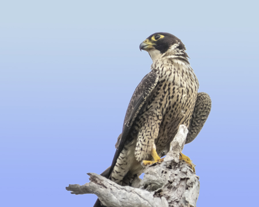 Peregrine falcon at Mudgeerabah