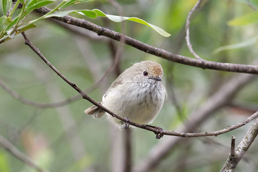 Brown Thornbill at Pechey Homestead, Crow's Nest, near Toowwomba