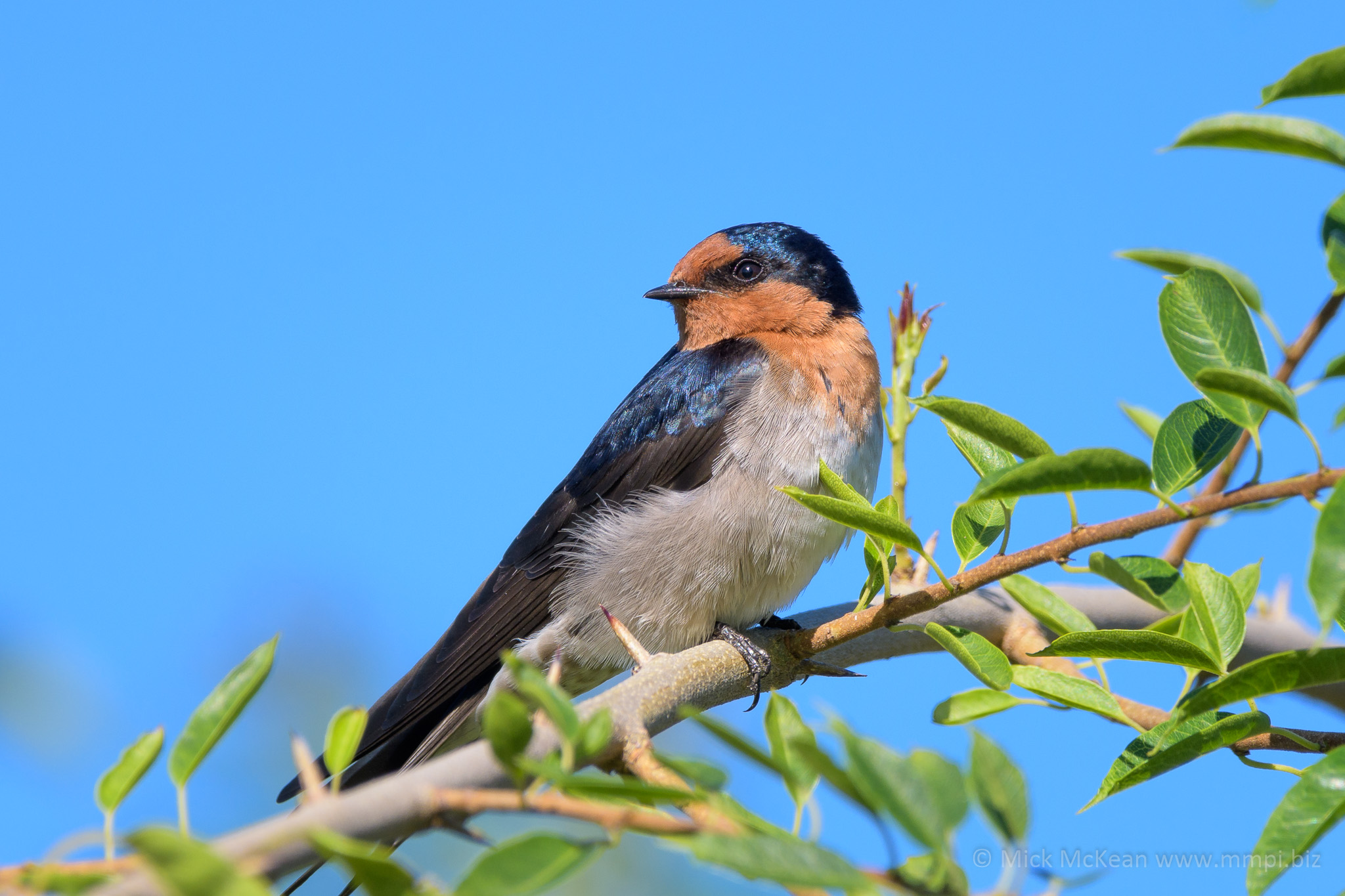 Welcome Swallow Up Close