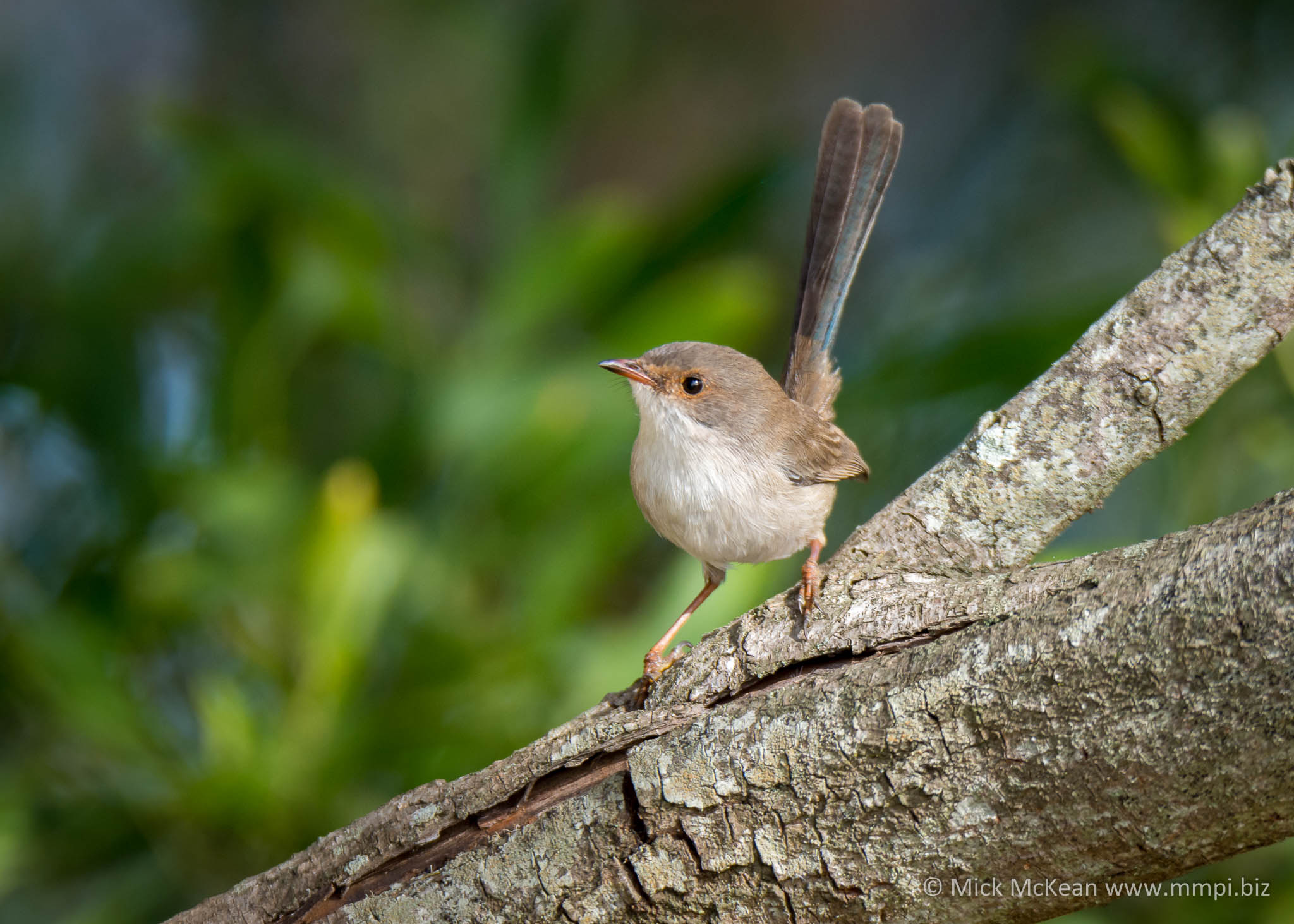 Perky Female Superb Fairy-wren