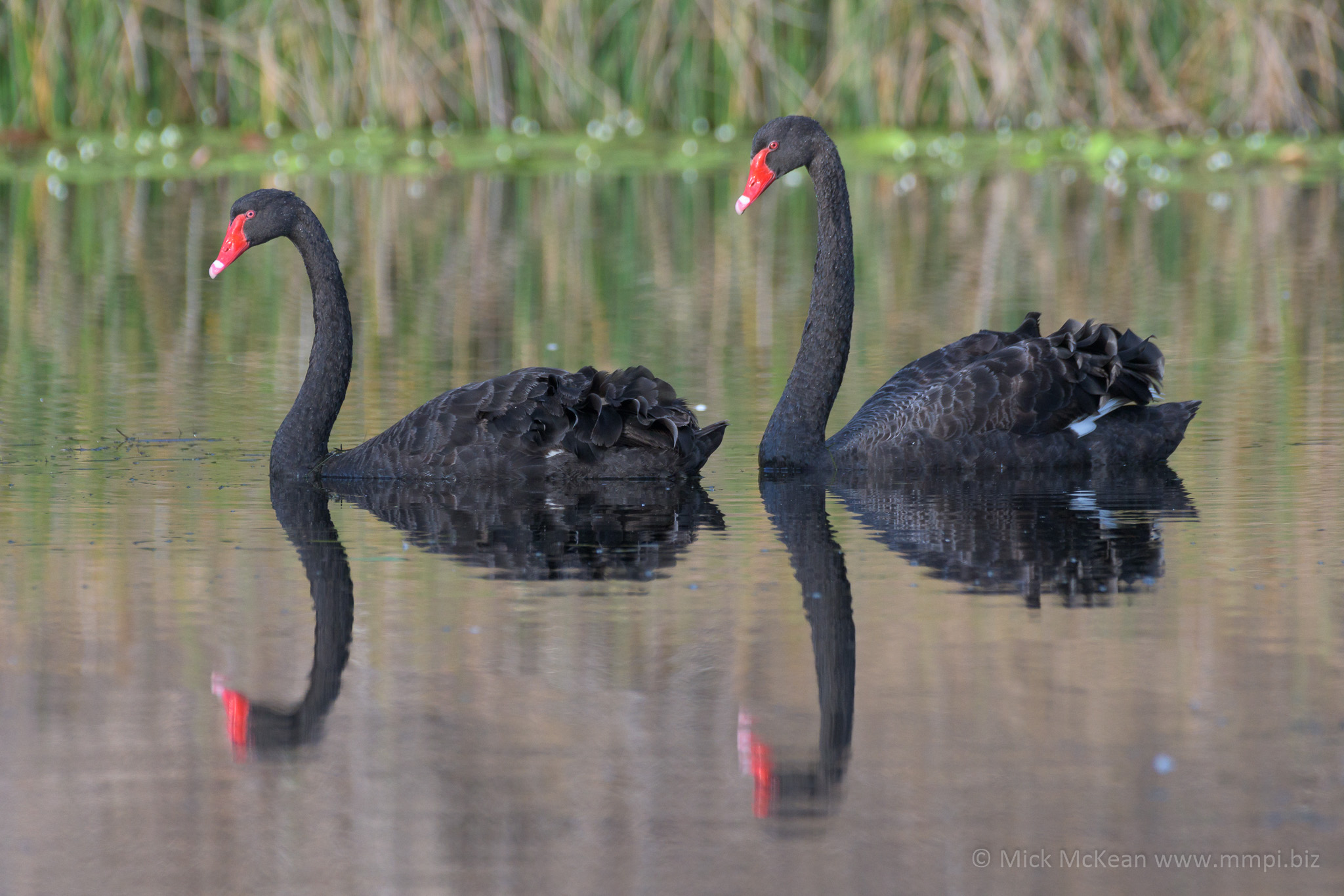 Black Swans reflecting on a pond
